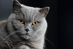 Snout of gray british cat. With dark yellow eyes on black background Royalty Free Stock Images