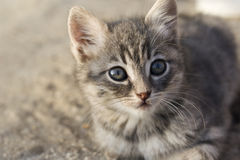Snout grey kitten Stock Image