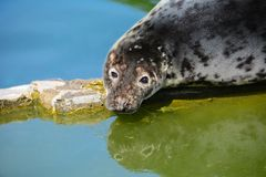 The snout of the grey seal. Halichoerus grypus stock photo