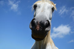Snout a horse close up. Horse snout close up on a background of blue sky Royalty Free Stock Photos