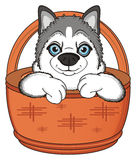 Snout of husky peek up from basket. Muzzle of siberian husky stick out from wooden basket Royalty Free Stock Photo