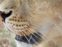 Snout of a Lion Stock Image