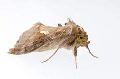 Snout moth Royalty Free Stock Image
