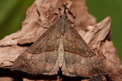 Snout moth. Royalty Free Stock Images