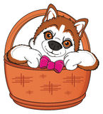 Snout of orange husky with bow peek up from baket Stock Photography