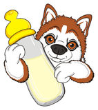 Snout of orange husky with drink Stock Photos