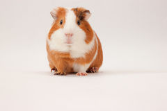 Snout pet little Guinea pig Stock Photo