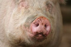 Snout of a Pig. Portrait of a pig with focus on the dirty snout royalty free stock photos