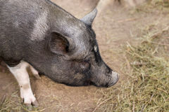 The snout of a pig on the farm big Royalty Free Stock Photo