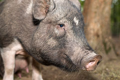 The snout of a pig on the farm big Stock Photo