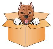Staff peek up from box. Snout of pitbull peek up from paper box Royalty Free Stock Photos
