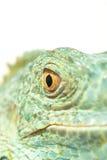 Snout verde da iguana Foto de Stock Royalty Free