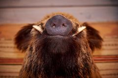 Snout of a wild boar. With fangs royalty free stock images