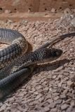 Snouted cobra Naja annulifera, called also - banded Egyptian cobra,  highly venomous species. With neurotoxic venom in terrarium Stock Images