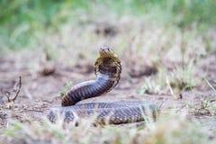 Snouted kobra na ziemi Fotografia Stock
