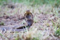 Snouted kobra na ziemi Zdjęcie Stock