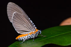 Snouted Tiger moth on green leaf Stock Photo