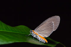 Snouted Tiger moth on green leaf Stock Image