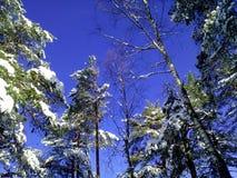 Snovy träd på vinter Royaltyfri Fotografi