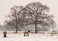In the snow 1. Two horses and some trees in a snow storm stock photography