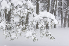 Snow. Heavy snow  on the tree branches Stock Image