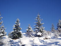 Snow. Sunny forest landscape with spruces,covered with snow royalty free stock images
