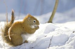 On snow. Squirrel on snow in nature Stock Photos