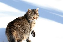 On snow. Cat taking walk in snow during winter Stock Photo