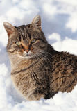 In snow. Cat in snow during winter Stock Photography