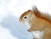In snow. Squirrel in snow during winter Royalty Free Stock Photo