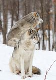 In snow. Two wolfs in nature during winter Stock Photo