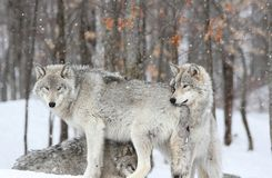 Snow. Two wolfs in nature during winter Royalty Free Stock Image