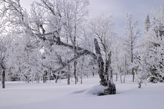 Snow. Cold winter day, wood with trees frozen and white for ice and snow, V�l�dalen, north Sweden Royalty Free Stock Images