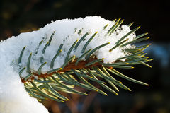 Snow and Pine Needles Royalty Free Stock Photography