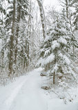 Snow Alley, Forest Stock Photos