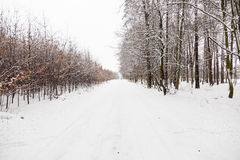 Snow alley road in winter forest. Royalty Free Stock Images