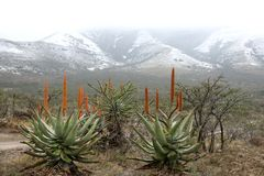 Snow and Aloes Royalty Free Stock Image