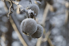 Snow apple Royalty Free Stock Photography