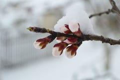 Snow on apricot tree buds Stock Photo