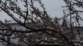 Snow in April. Anomalous phenomenon. A branch of a flowering apricot in the snow. stock video