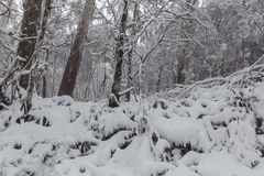 Snow in Australian eucalyptus forest. Royalty Free Stock Photography