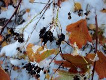 Snow in autumn. Early snow on autumn leaves Stock Photography