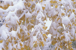 Snow on Autumn Leaves, Boulder, Colorado Royalty Free Stock Photo