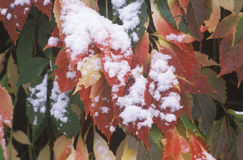 Snow on Autumn Leaves, Boulder, Colorado Royalty Free Stock Images