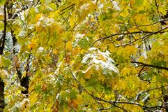 Snow on autumn leaves. First snow on autumn yellow, green maple leaves royalty free stock photography
