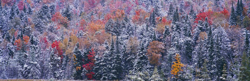 Snow and Autumn trees, Royalty Free Stock Image