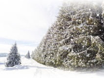 Snow background. Fir trees Stock Image