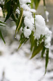 Snow bamboo Royalty Free Stock Photo