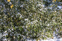 Snow and bamboo Royalty Free Stock Photos