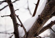 Snow on the bark. Of the tree Stock Photos